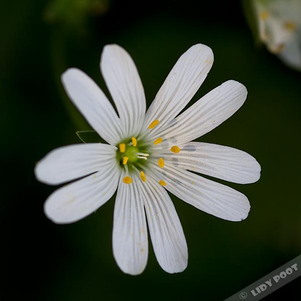 Grote Foto Op Muur.Grote Muur Stellaria Holostea Witte Wilde Bloemen